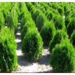 Как посадить туи? хвойные деревья в благоустройстве дачного участка