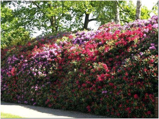 Фото 4 - Высокая живая изгородь из цветущего рододендрона