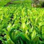 Какой сорт табака для трубки выбрать? Можно ли вырастить табак для трубки в домашних условиях?