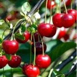 Вишня плодовая